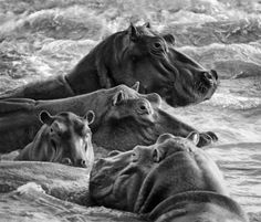 Hippos in the swirl by Dale Morris, Wilderness   Getaway Magazine