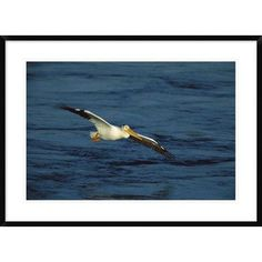 "Global Gallery 'American White Pelican Flying' Framed Photographic Print Size: 26"" H x 36"" W x 1.5"" D"