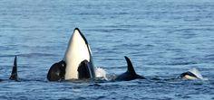 Orcas and the San Juan Islands