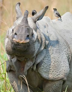 Indian rhinoceros by Todd Gustafson, Gustafson Photo Safari.