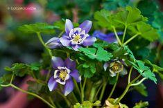 Japán Harangláb (Aquilegia flabellata) gondozása, szaporítása