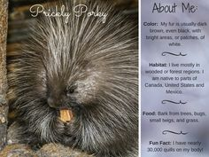Prickly Porky: Quick Facts About Porcupines