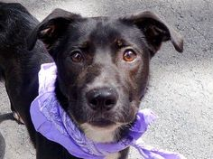 TO BE DESTROYED - SUNDAY - 8/31/14, Manhattan Center   RIDER aka HALIEY - A1011630   NEUTERED MALE, BLACK / WHITE, LABRADOR RETR MIX, 1 yr, 8 mos STRAY - ONHOLDHERE, HOLD FOR ID Reason STRAY  Intake condition EXAM REQ Intake Date 08/23/2014, From NY 10456, DueOut Date 08/26/2014,