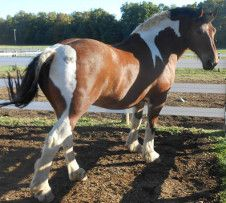 "Hickory Hollow Horses ""Sunny"" Shire/paint cross    Horseback Tours of Gettysberg"