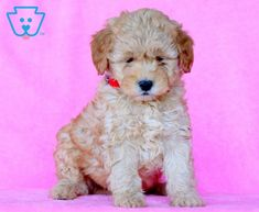 Checkers | Goldendoodle - Miniature Puppy For Sale | Keystone Puppies Goldendoodle Miniature, Miniature Puppies, Goldendoodle Puppy For Sale, Best Pal, Design Development, Puppies For Sale, Miniatures, Teddy Bear, Dogs