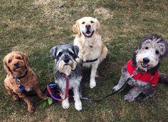 My cute little faces  Benny, Kobe, Honey and Sophie. #dog #dogs #doglife #dogslife #dogsofinstagram #ilovemydog #ilovemydogs #dogwalker #dogwalking #instadog #cute #dogsrule #cockapoo #schnauzer #golden #goldenretriever #goldendoodle #doodle #instagram #instagood #photooftheday #squad #squadgoals - rwasundi