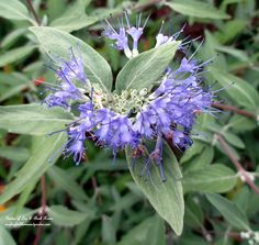 "Caryopteris ""Longwood Blue"" (Garden of Len & Barb Rosen)"