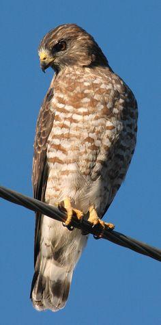 Broad-winged Hawk | Broad-winged Hawk