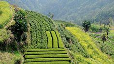 Teeplantage, dunkel gruen ist Baicha und hell gruen Xiang Tee