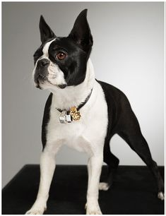 Jewelry Photo Shoot with Isabella the Boston Terrier Dog by Isabelle Bonjean (Photo) - http://www.bterrier.com/jewelry-photo-shoot-with-isabella-the-boston-terrier-dog-by-isabelle-bonjean-photo/