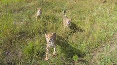 The Cheetah at Kwa Cheetah outside Ladysmith in South Africa Cheetah, South Africa, Giraffe, The Outsiders, Fox, Animals, Animales, Animaux, Cheetahs