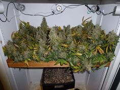 White Russian #ganja Join Us at SmokeWeedEveryday.Org for More Weed Fun!