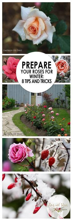 Winter rose care is tricky when temperatures get cold! Use these winter plant care tips and tricks to keep your roses looking beautiful for years to come. Prepare Your Roses for Winter: 8 Tips and Tricks - Bees and Roses Gardening For Beginners, Gardening Tips, Container Gardening, Fairy Gardening, Winter Plants, Winter Garden, Tips And Tricks, Garden Care, Rose Winter