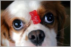 funny king charles cavalier