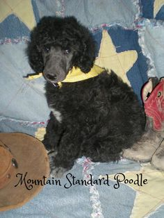 Lucky, a standard poodle puppy. 6 weeks old.