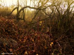 01/17/2015 - There is an area along the Greenbelt in the east end of Boise where  a large patch of blackberry brambles grows in the woods next to the path. As I ran past the brambles this morning, the rising sun burning through the fog gave the area a very Disneyesque fantasy appearance.