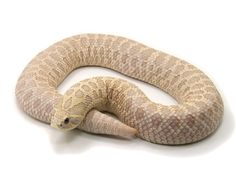 Pink Pastel Western Hognose Snake