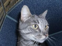 Harlem is an adoptable Tabby - Grey Cat in Vacaville, CA. **Please take note that if an animal is not yet spayed or neutered it CANNOT be adopted out of Solano County**  2200 Peabody Road Vacaville C...