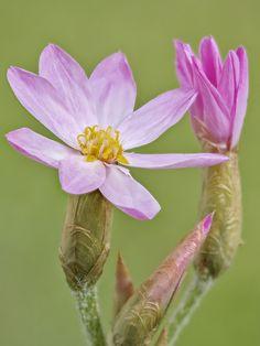 Helichrysum cassianum