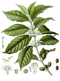 """Arabica-Kaffee (Coffea arabica) """" #Kaffee (Coffea) ist eine Pflanzengattung in der Familie der Rötegewächse (Rubiaceae) mit derzeit 124 bekannten Arten. Die berühmtesten unter ihnen sind die als Plantagenpflanzen bevorzugten Arabica-Kaffee (Coffea arabica) und Robusta-Kaffee (Coffea canephora), letztere bekannter unter dem, nur noch als Synonym geltenden, Namen Coffea robusta."""""""