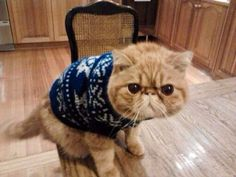 Community Post: 26 Pictures Of Cats & Dogs In Christmas Sweaters As you can see, I hate this Ugly Sweater Party get-up. Christmas Animals, Christmas Dog, Christmas Sweaters, Flea Shampoo For Cats, Cat Dressed Up, Teacup Cats, Angora Cats, Herding Cats, Mean Cat