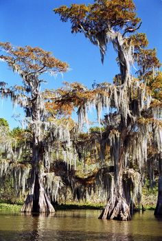 cypress trees with Spanish moss in the Atchafalaya Swamp, Louisiana