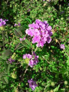 Flor morada de la lantana al inicio del verano