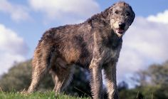 Everything you want to know about Irish Wolfhounds, including grooming, training, health problems, history, adoption, finding a good breeder, and more.