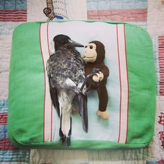Penguin the Magpie was rescued and is now the family pet.