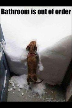 THIS is funny because anyone who has ever owned a Dachshund knows they will not go out to use the bathroom if it is sprinkling, much less this. Dachshund Funny, Dachshund Love, Funny Dogs, Daschund, Funny Animal Pictures, Dog Pictures, Funny Animals, Cute Animals, Cute Puppies
