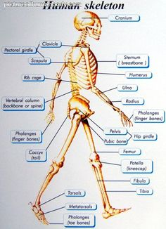 Basics Of Human Skeletal System Best Picture For Human Body System poster For Your Taste You are looking for something, and it is going to tell you exactly what you are looking for, and you didn't fin Human Skeleton Anatomy, Human Body Anatomy, Human Anatomy And Physiology, Yoga Anatomy, Human Body Organs, Human Body Systems, Human Body Diagram, Anatomy Bones, Skeletal System