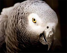 African Grey Parrot  #bird #birds #birdlife #bird_brilliance #bird_inspiration #parrot #africangrey #grey #wildlife #inspiration #nature #dreams by dream_delta_creations http://www.australiaunwrapped.com/