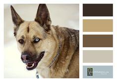Shepherd/Husky Mix