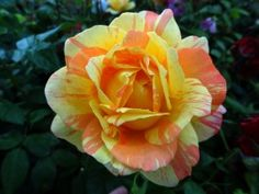 Andre Willemse, A very unique striped blooming Hybrid Tea. Such a striking and different double bloom of yellow with orange stripes. Has a very strong fragrance as well. All around most excellent rose for your garden. Good for zones 6-10. Petals 17-25