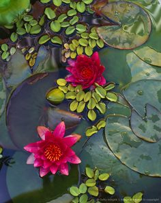 Water Lillies https://www.facebook.com/FenghShuiTradicionalMexico