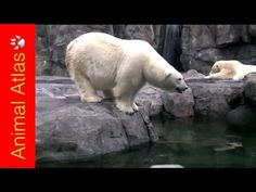 Great video (Middle part is about polar bears & physical adaptations)Ever wondered how some animals live in certain conditions? Physical Adaptations, Animal Adaptations, Kindergarten Science, Science Activities, Science Videos, Arctic Animals For Kids, Polar Animals, Science For Kids, Science Fun
