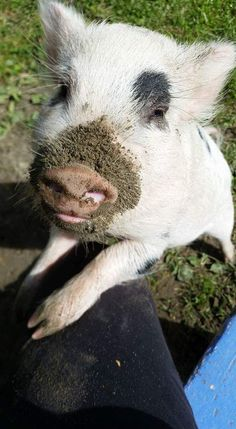 Mud: Summer is the perfect time to flood a mud hole in the yard. Use the hose to drench several inches of water in a low area. The pigs will root, roll, and wallow.They will use this water and mud to cool off and protect their skin from sun and insects. Happy Animals, Farm Animals, Cute Animals, Wilde Zwijnen, Miniature Pigs, Small Pigs, Mini Pigs, Pet Pigs, Flying Pig