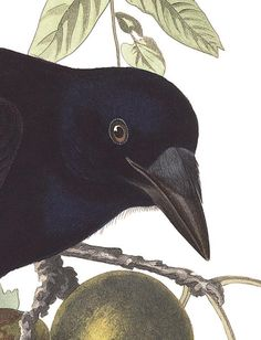 John James Audubon's Birds of America | Audubon  Absolutely beautiful illustrations and descriptions.