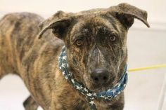 NAME: Asher  ANIMAL ID: 29387278  BREED: Dutch shep mix  SEX: male  EST. AGE: 1 yr  Est Weight: 57 lbs  Health: heartworm neg  Temperament: dog friendly people friendly  ADDITIONAL INFO: RESCUE PULL FEE: $49  Intake date: 8/15  Available: 8/21