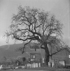 California History, Southern California, Newbury Park, Westlake Village, Simi Valley, Ventura County, Local History, Oak Tree, Frames