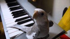 Cute Cockatiel Sing My Neighbor Totoro