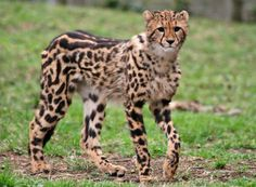 King Cheetah. Photo by Punda K.