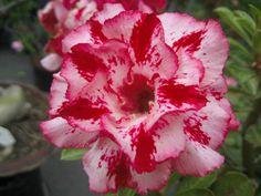 "Adenium Obesum Desert Rose ""chokrussume"""
