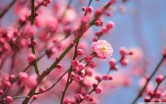 Cherry Blossom Wallpapers Wallpaper