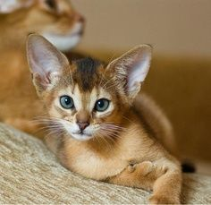 Things to know about Abyssinian Cats!.Click the picture to read