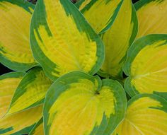 'Orange Marmalade'. It is rare to see the color orange in hostas. Leaves emerge in Spring a glowing yellow gold, then turn golden-orange. Later in Summer the leaf center turns yellow then whitens. Medium in size.