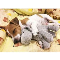 Jack Russell Terriers sleeping in hilarious positions. Here are 43 adorable Jack Russells who have fallen asleep in the most awkward and hilarious positions ever. Cute Puppies, Cute Dogs, Dogs And Puppies, Doggies, Jack Russell Puppies, Jack Russell Terrier, Baby Animals, Cute Animals, Sweet Dogs