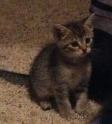 Tabitha is an #adoptable Domestic Short Hair - Brown #Cat in #Minneapolis. Name:  Tabitha Breed:   DSH w/ some tabby markings, 8 weeks/female Friendly with: cats, dogs, kids, adults Feline-ality Personality Type: LoveBug Energy Level: Average for a kitten :) Hi, I'm Tabitha. I'm one of the prettiest kittens my foster mom has ever seen.  I have beautiful blue eyes. I would love a fur-ever home to call my own. Could it be with you? www.petprojectrescue.com/adoptable-cats