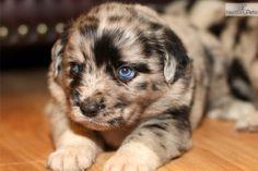 Blue Merle Australian Shepherd Puppies   Blue merle female, flashy, 1 blue eye, $1200