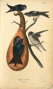 Purple Martin. (Calabash). J J. Audubon. BHL. Chitter & preen! Jim's companions.